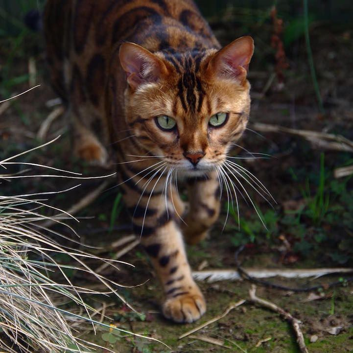 Bengal Cat Named Thor Looks Like A Cross Between A Leopard And