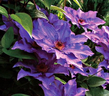Clematis The President   Clematis, White flower farm and Flower farm