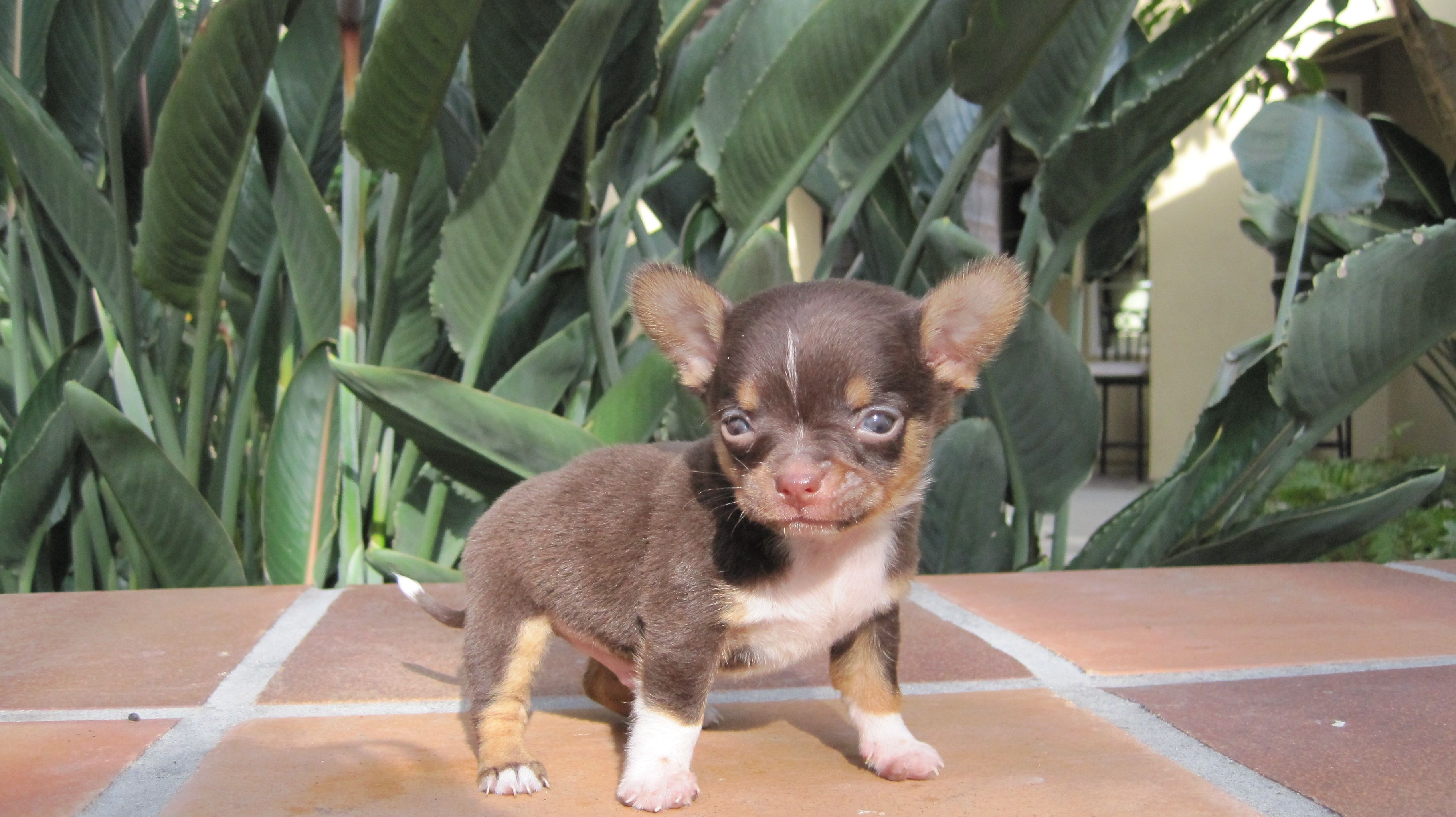 Teacup Chihuahua Puppies For Sale In Texas Chihuahua