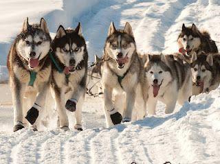Backstage Iditarod Blog Dog Sledding Alaskan Dog Wolf Dog
