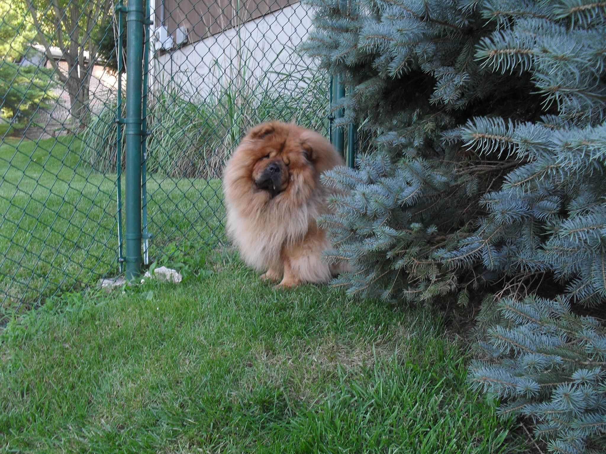 nature Chow chow dogs