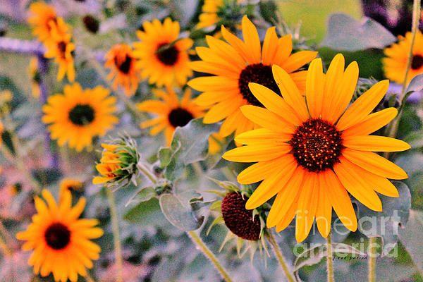 Title  Sunflower Garden Texture  Artist  Janice Rae Pariza  Medium  Photograph - Photograph