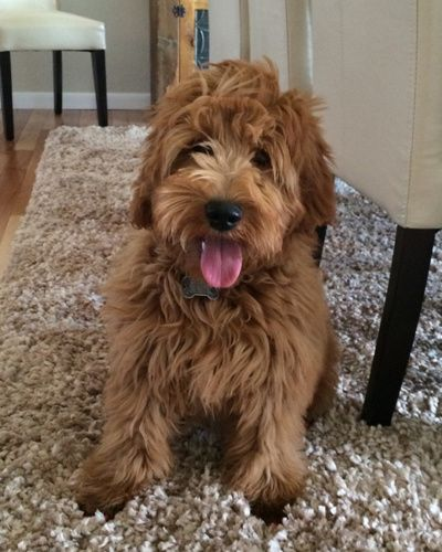 F1b Mini Mini Goldendoodle F1b Mini Goldendoodle Goldendoodle