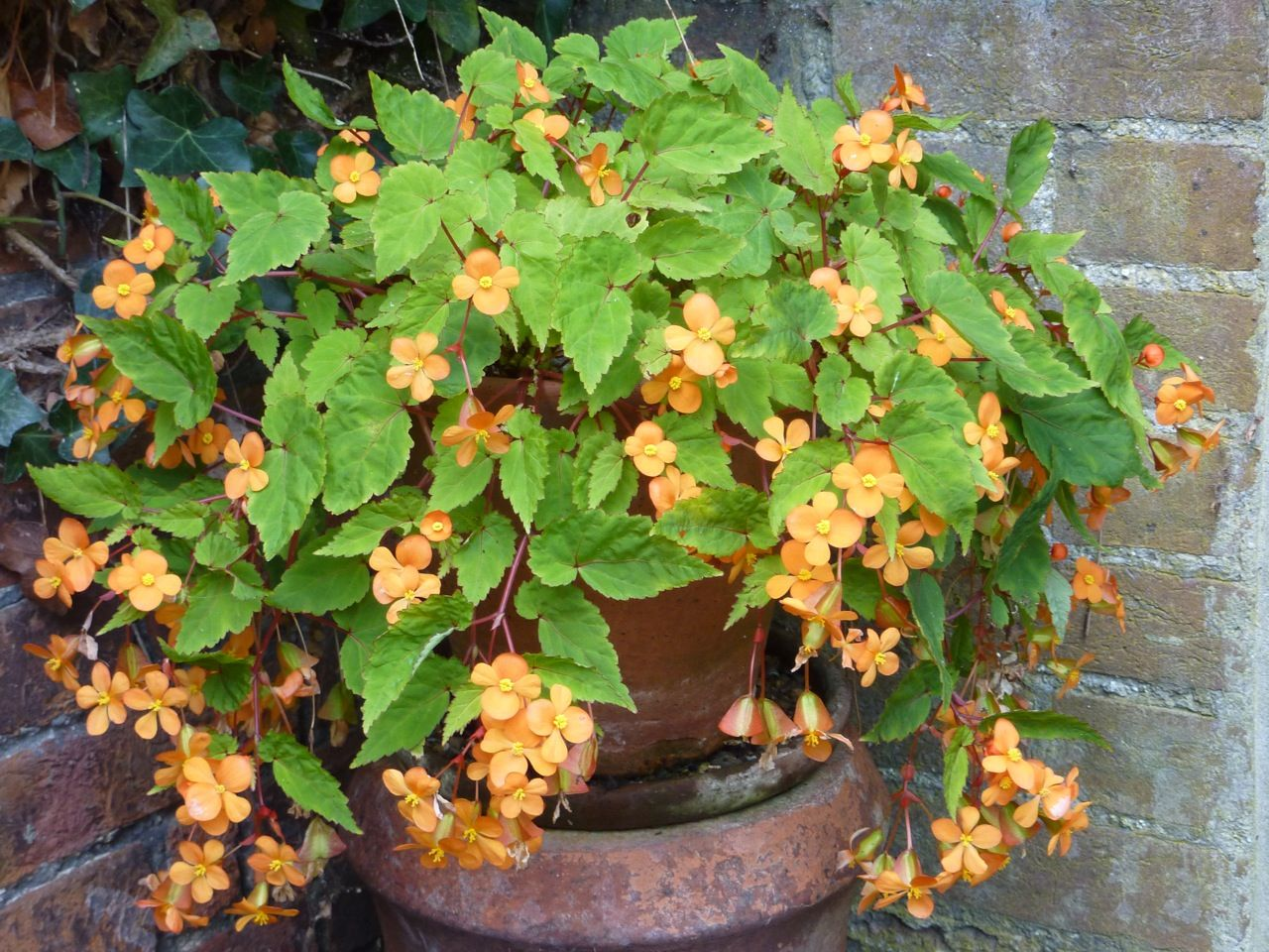 De Begonia Sutherlandii Soms Ook Wel Begonia Papaya Genoemd Is Een Knolbegonia Die Onophoudelijk Bloeit Op Een Warme En L Eenjarige Planten Begonia Tuinplanten