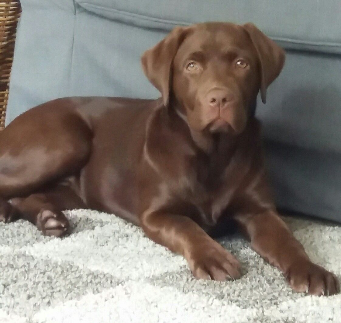 Cute Chocolate Lab 4 Months Old Chocolate Lab Dogs Dogg