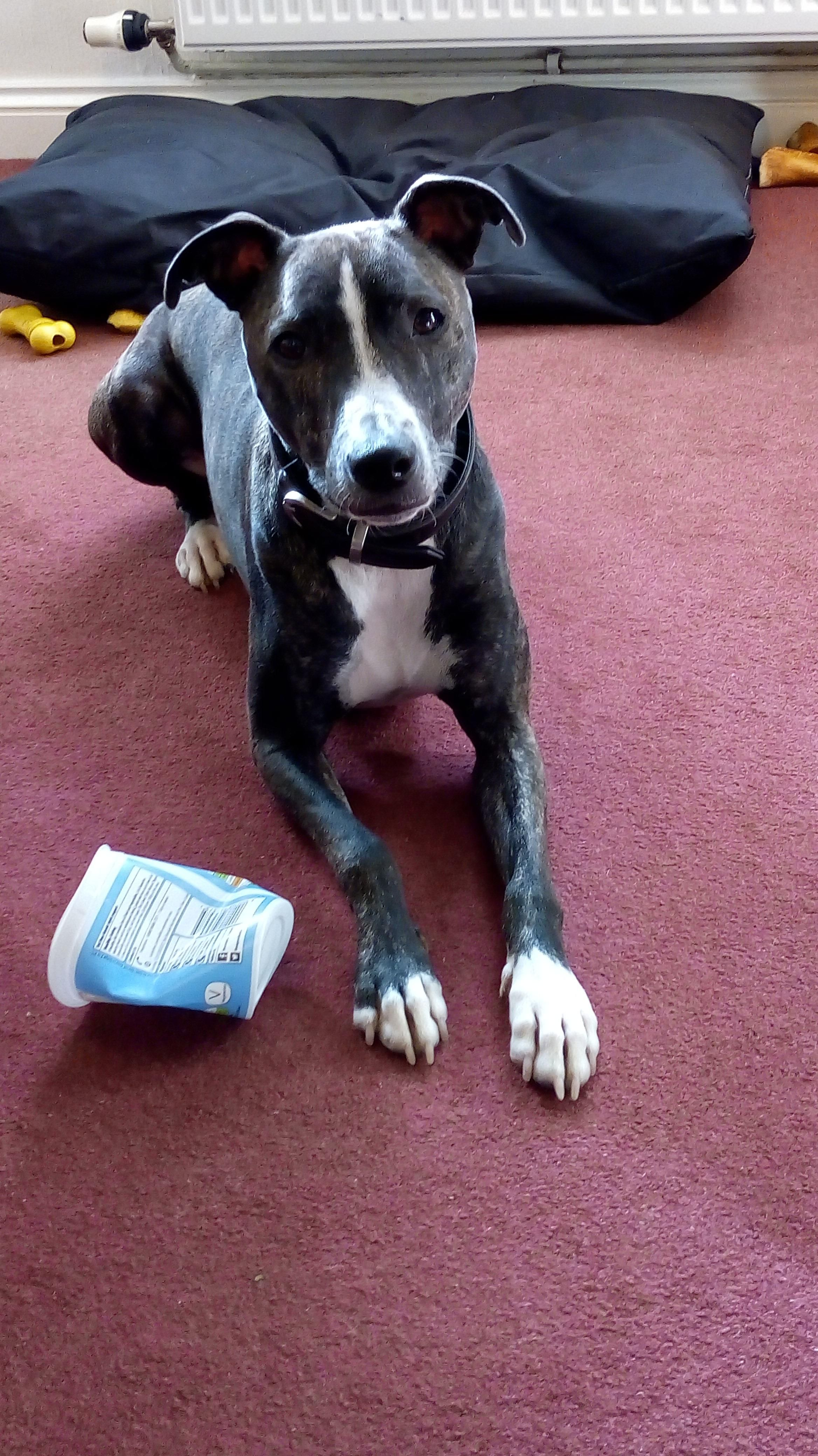 Max My Whippet X Staffy He Loves Eating Yoghurt Dogpictures