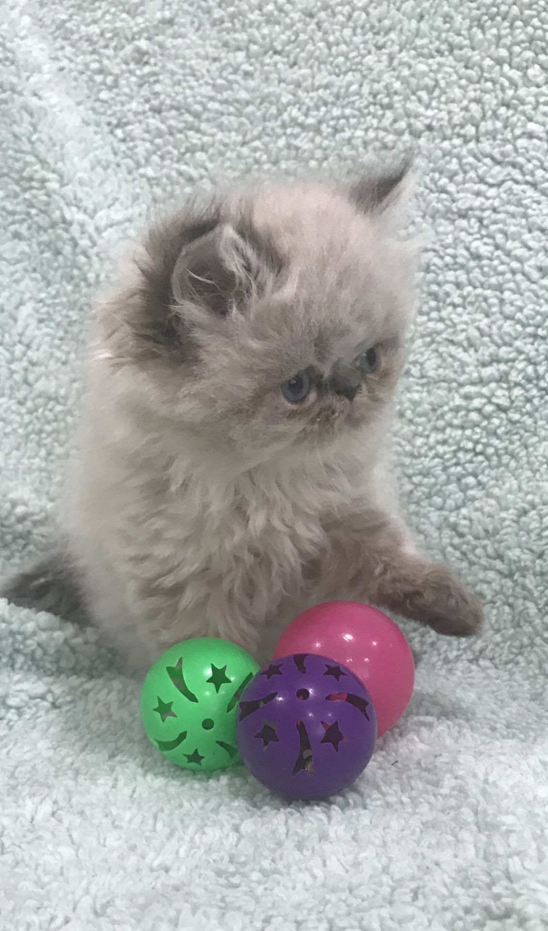 Pin by Himalayan kittens for sale New on Himalayan kittens