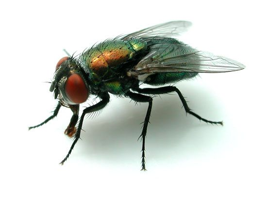 How To Get Rid Of Common Green Bottle Fly