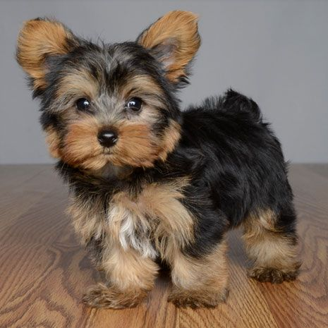 Puppies For Sale Orlando Fl Justpuppies Net Puppies For Sale Puppies Yorkshire Terrier Puppies