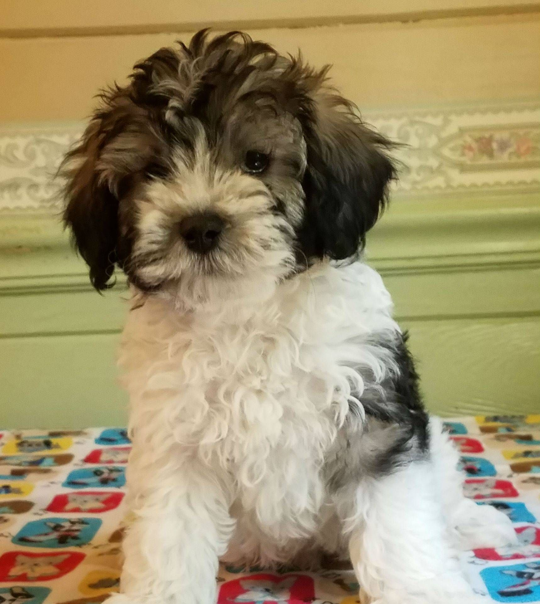 North Carolina Schnoodles Adoption & Delivery Fees in