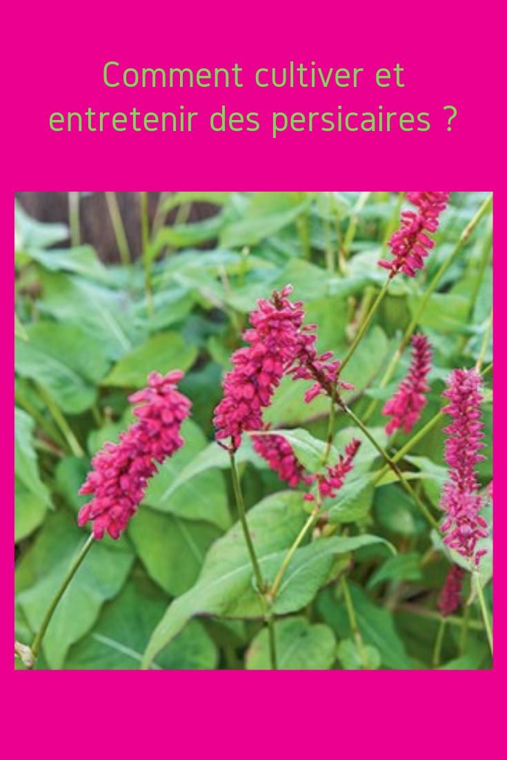 Comment cultiver les persicaires conseils et variétés