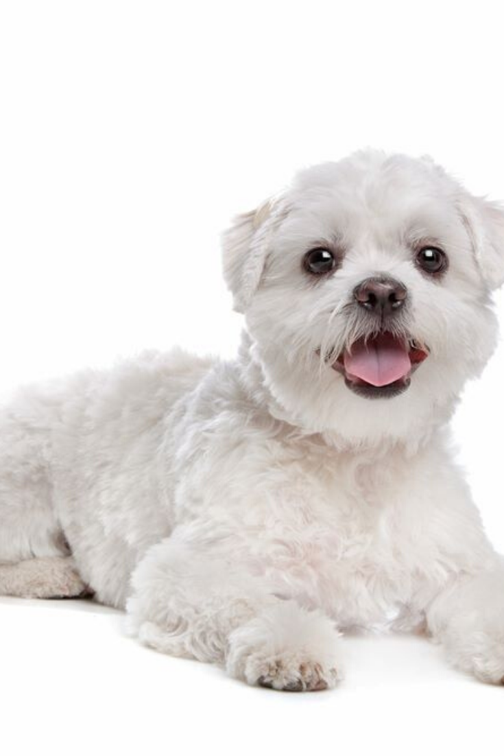 Mixed Breed Dog In Front Of A White Background Shihtzu Shih Tzu Maltese Puppy Maltese Poodle
