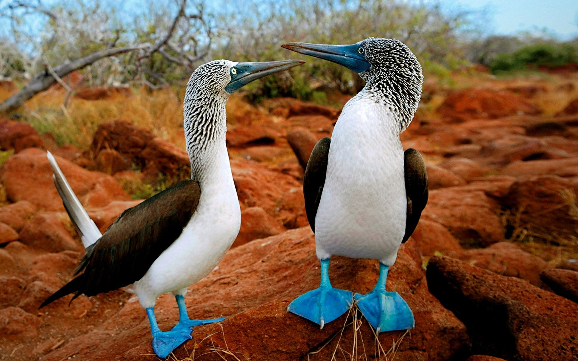 Galapagos Blue footed boobies.