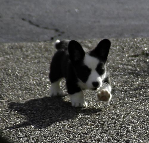 Run Little Legs By Firenzabird Via Flickr Corgi Cardigan Welsh
