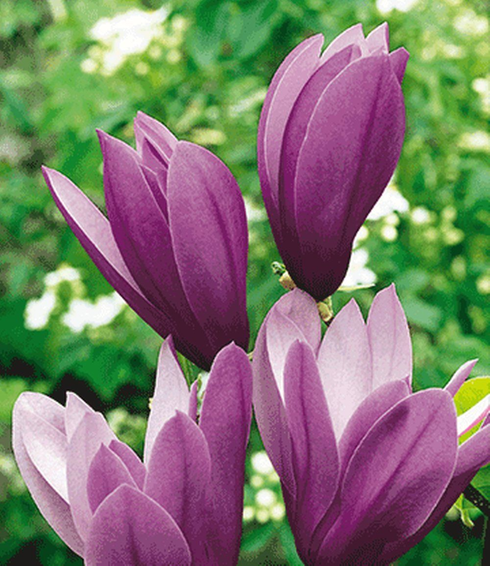 Magnolia Black Beauty blue garden Pinterest