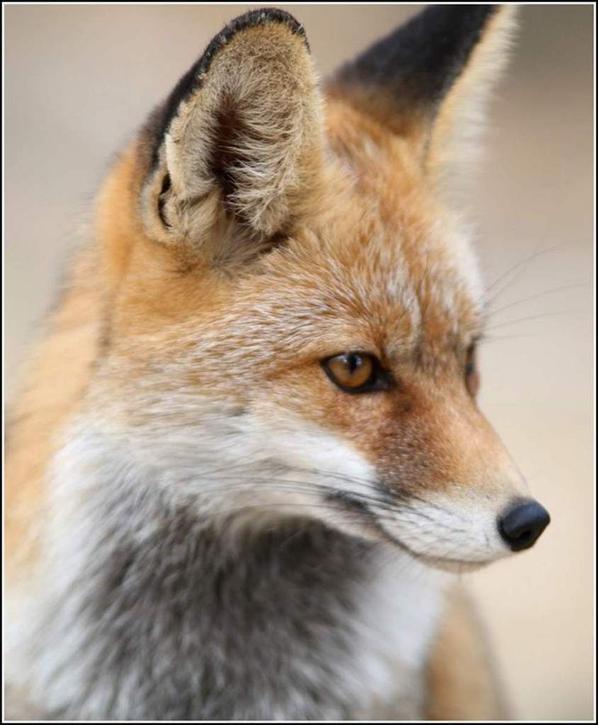 Préférence Animaux sauvages - renard | foxes | Pinterest | Foxes, Red fox and  WL39