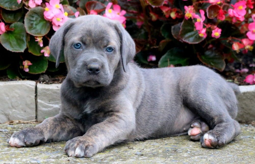 Sophie Cane Corso Puppy For Sale Keystone Puppies Cane Corso Puppies Cane Corso Cane Corso Dog