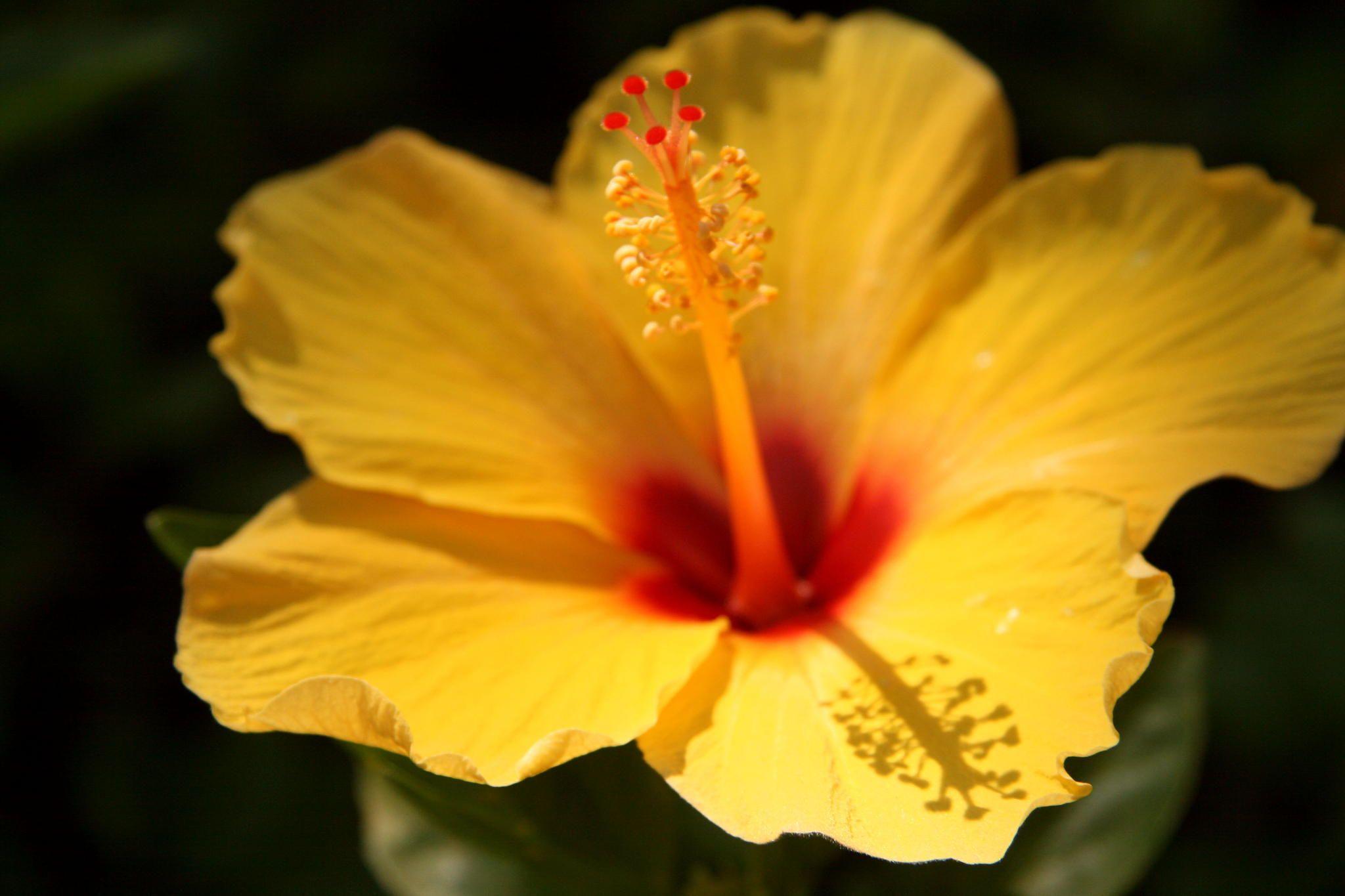 Yellow hibiscus flower garden pinterest yellow hibiscus yellow hibiscus izmirmasajfo