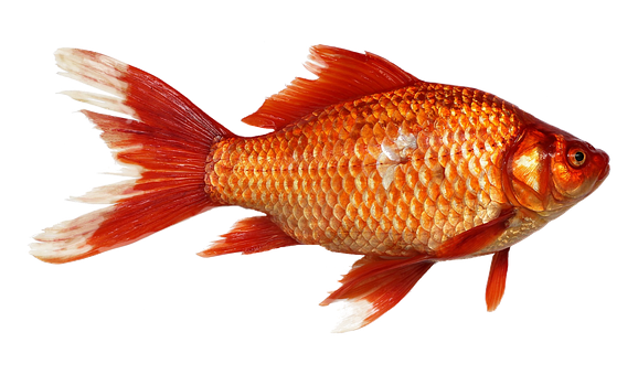 Koi Red Goldfish Fish Goldfish Clipart Year Painting More Than A Year Png Transparent Clipart Image And Psd File For Free Download Goldfish Fish Background Cartoon Fish