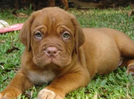 Can You Tell I Want A French Mastiff With Images French
