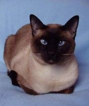 Applehead Siamese Cats Pictures Pretty Cats Cat Pics Cats