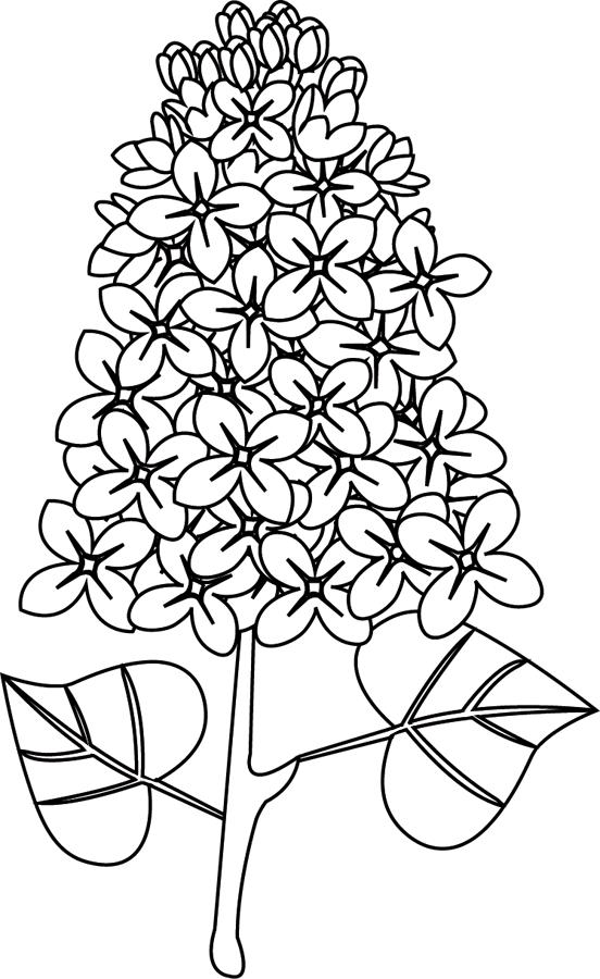Le Lilas Lilas Fleur Fleur Dessin Facile Lilas