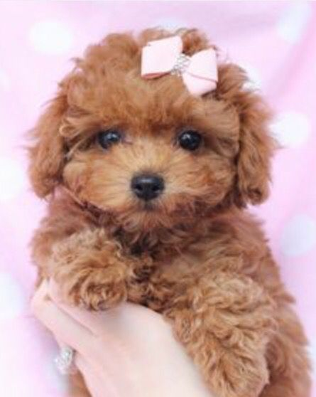 When I Get My Female Dream Dog Toy Poodle Puppies Poodle Puppy