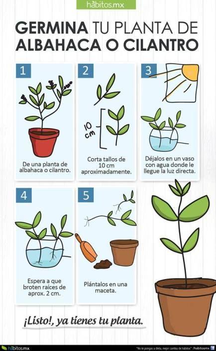 Germinar cilantro y albahaca jardiner a pinterest for Cultivo de albahaca en interior