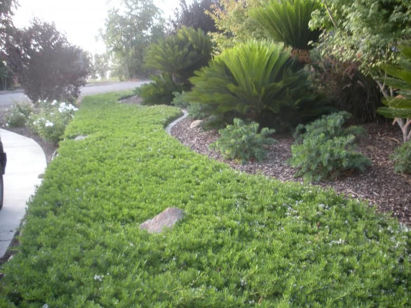 Ground Cover Myoporum Parvifolium Ground Cover Ground Cover Water Wise Plants Landscape Ground Cover