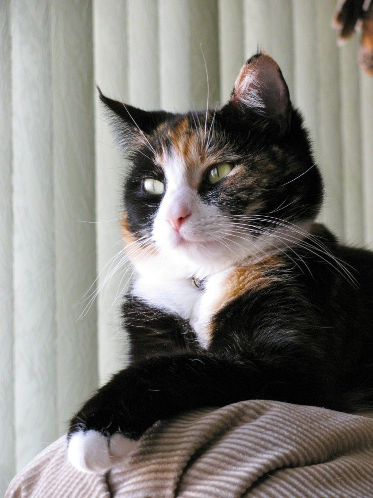 Catalina, a 7-year-old rescued feral cat is owned by Mike and Barbara Morehead.