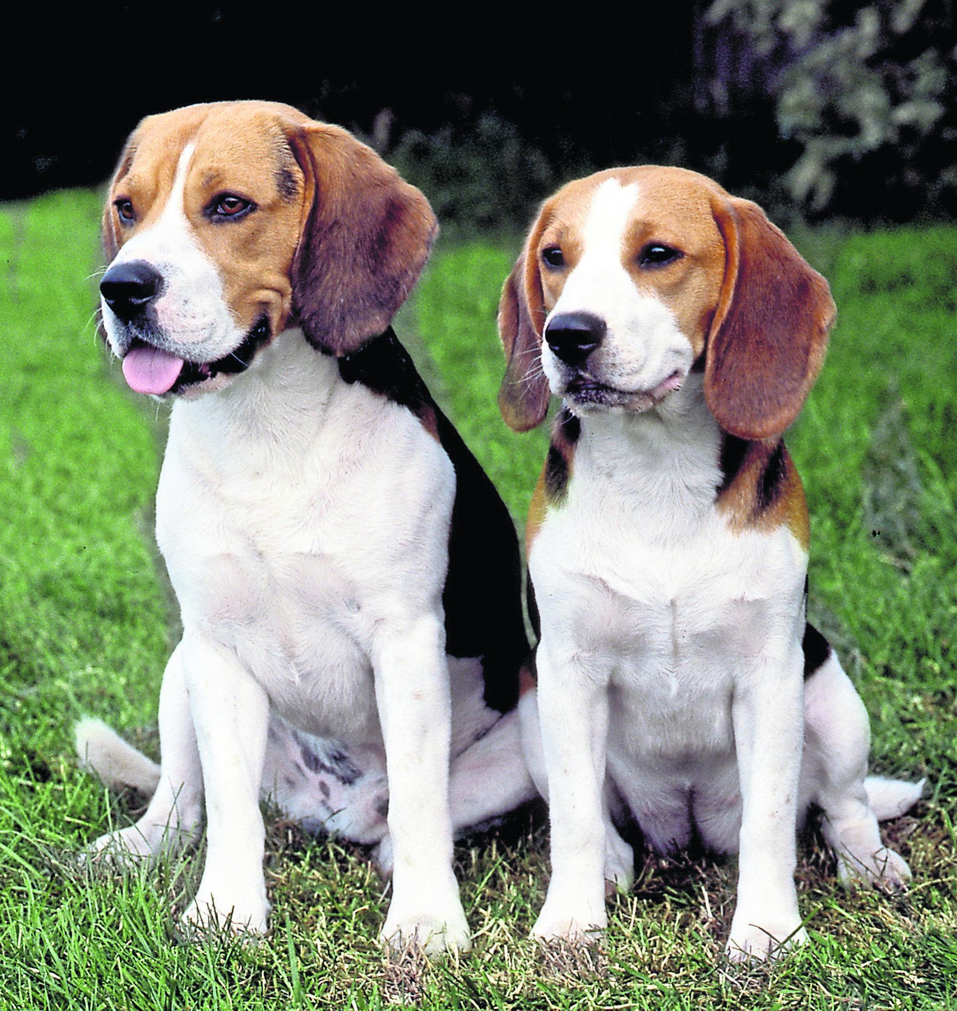 Halt Beagle Breeding Centre Pleads Kc And Frame Dogs Of The