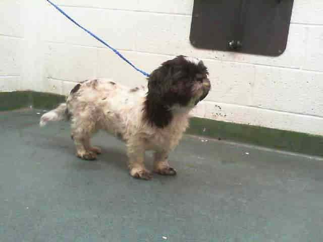 BELLA (A1653101) I am a spayed female white and black Shih Tzu. The shelter staff think I am about 3 years old and I weigh 18 pounds. I was turned in by my owner and I may be available for adoption on 10/19/2014. — Miami Dade County Animal Services. https://www.facebook.com/urgentdogsofmiami/photos/pb.191859757515102.-2207520000.1413840759./858977130803358/?type=3&theater