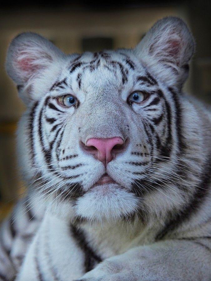 crosseyed white tiger. gazing through nature's door