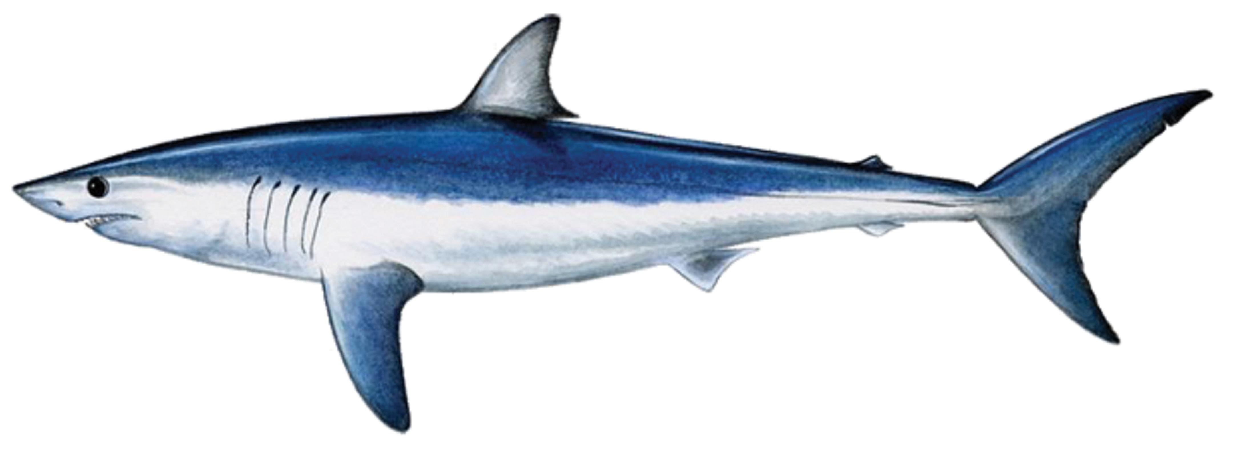 Art illustration oceans seas mako shark isurus for How to shark fish