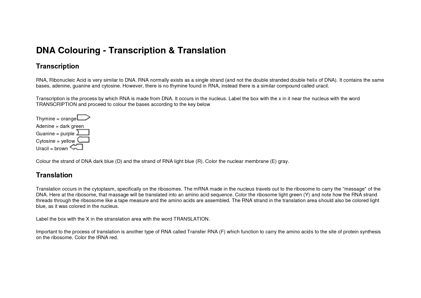 DNA Coloring Transcription and Translation Answer Key | Education ...