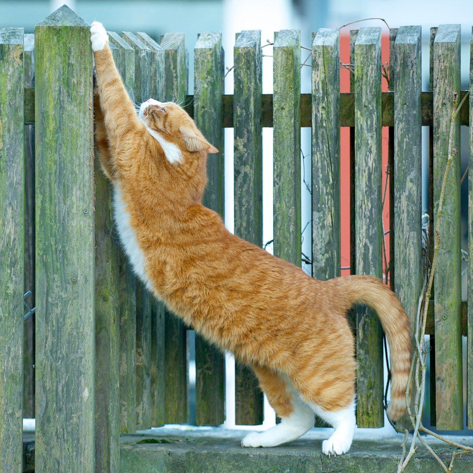Stretch center Cat stretching, Cat fence, Orange cats