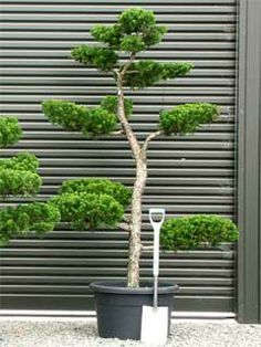 Cloud Pruning Juniper Google Search Cloud Pruning Japanese Garden Design Japanese Garden