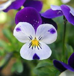 Viola Cornuta Horned Violet Bedding Pansy Tufted Pansy Perennial Vegetable Young Leaves And Flower Buds Eaten Raw Or Pansies Flowers Flower Bud Pansies