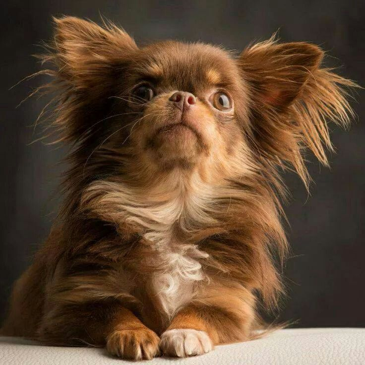Beautiful Long Haired Chihuahua Avec Images Chien Mignon