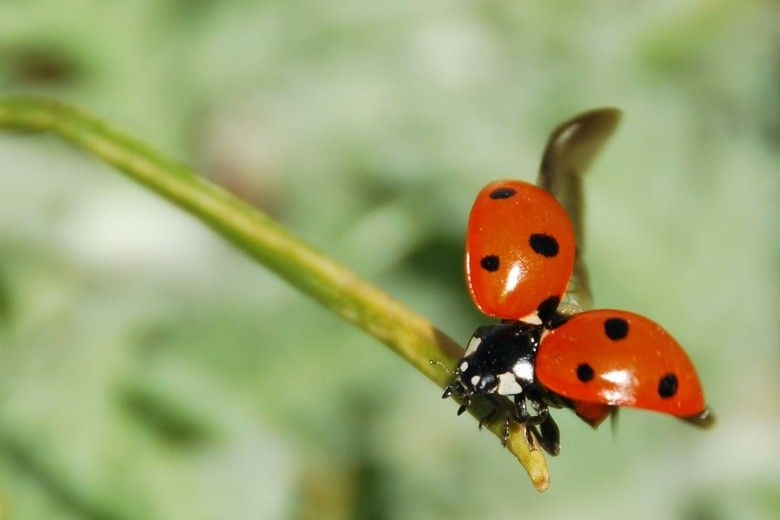 What Do Ladybugs Eat With Images Ladybug Bugs And Insects