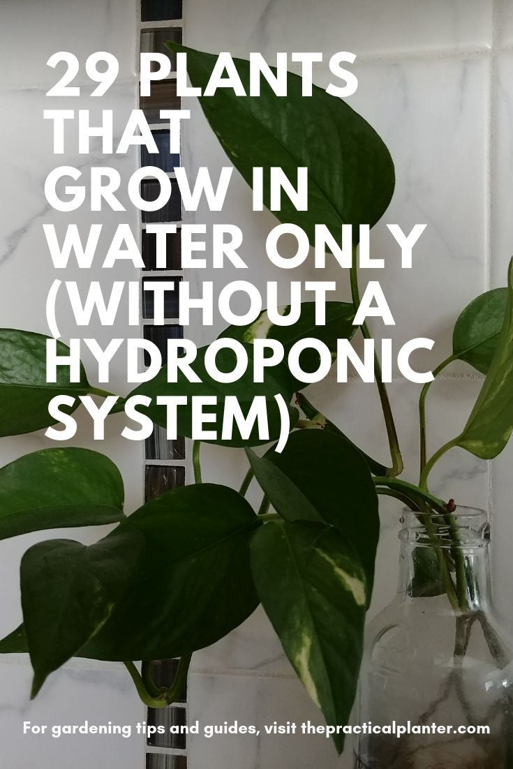 29 Plants That Grow in Water Only (Without a Hydroponic System is part of Water garden plants, Indoor water garden, Plants grown in water, Water plants indoor, Hydroponic gardening, Hydroponic plants - Don't like getting dirt under your finger nails, or pesky plant bugs that annoy you (see my simple solutions for this)   and kill your plants  Worryfree houseplants not only exist; they're super easy to take care of! Take your pick from the following 10 herbs you can grow and use in your kitchen (and bedroom too) 6 air purifying