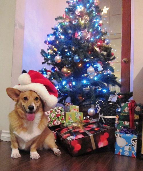 Happy Holidays! #corgi