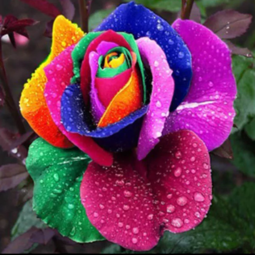200 pcs Colorful Rainbow Rose Flower Seeds. Starting at $1