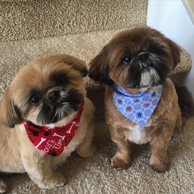 The One On The Left Reminds Me Of Our Princess Shih Tzu Shih
