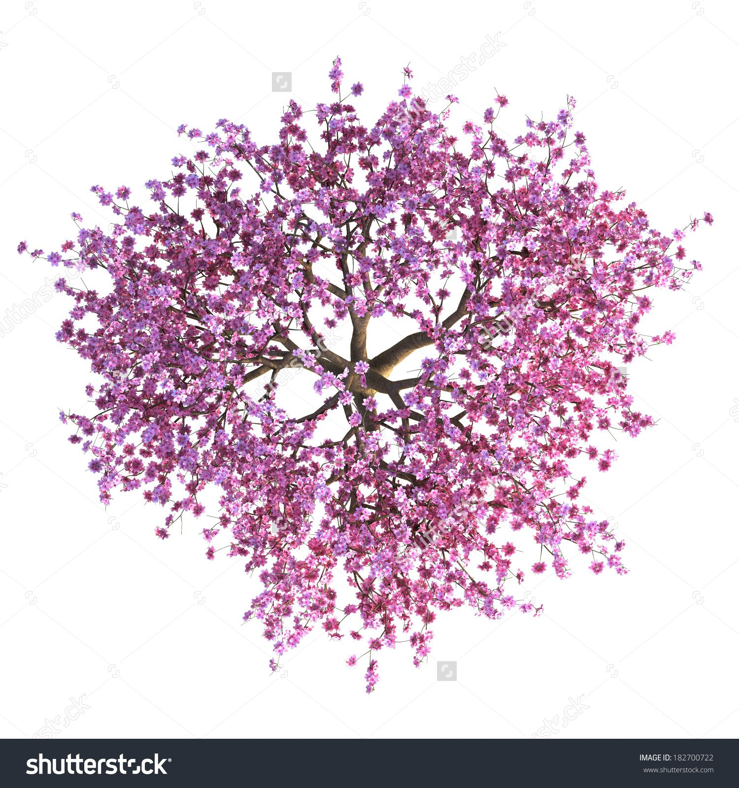 diagram the parts of cherry blossom tree canine skull top view google search