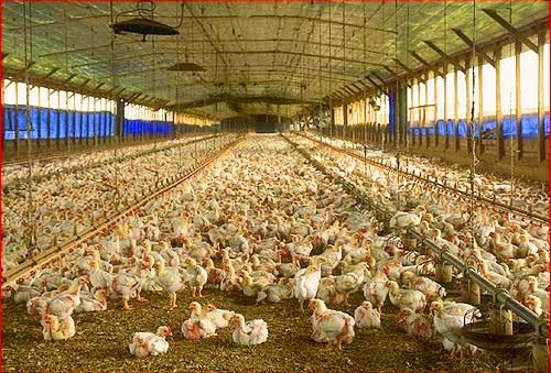 Connect Poultry Farm Equipment Chicken Farm Intensive Animal Farming Chicken Farm Poultry Farm
