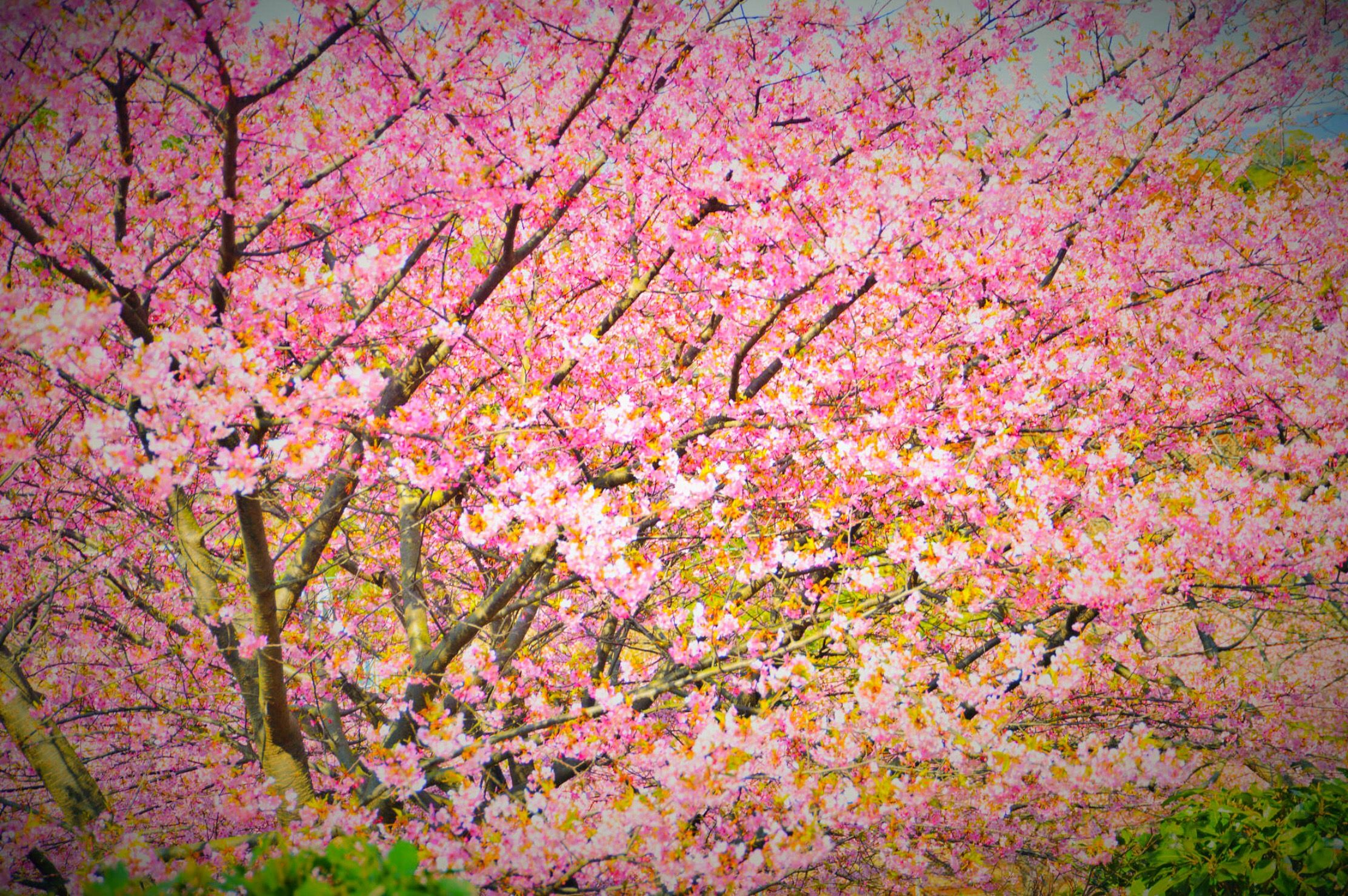 Cherry Blossoms Kawazu Japan By Chikara Amano On 500px Spring Images Flowering Trees Nature