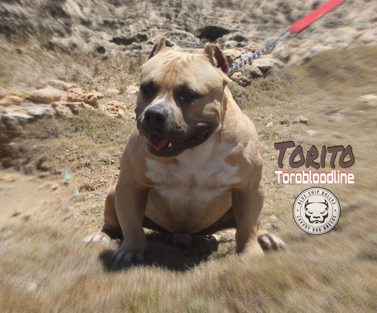 Pin En American Bully Dogs