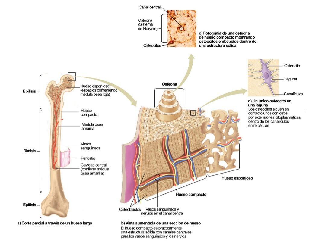 Estructura Del Hueso Infografia By Carlos Darwin Via