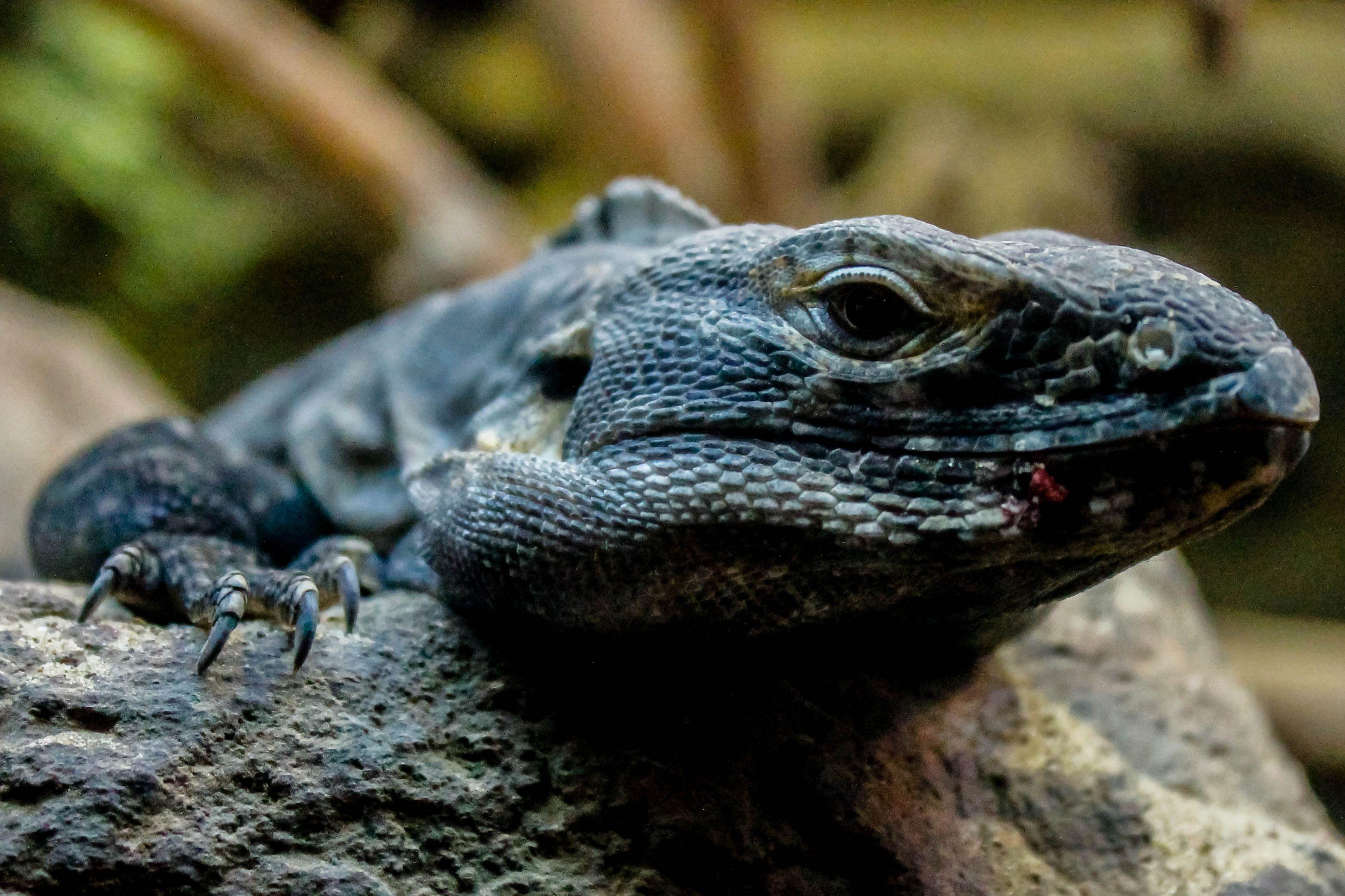 Sonoran black iguana